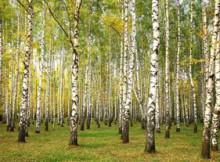 Evening autumn birch forest in sunlight